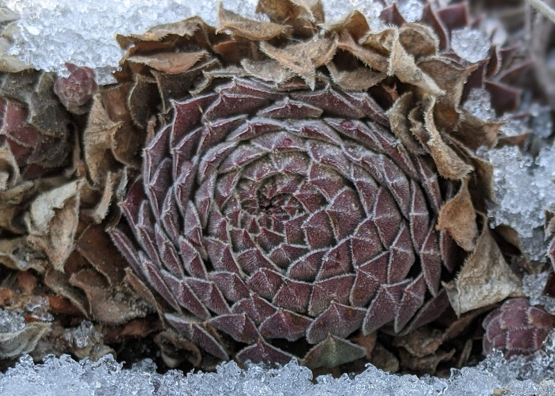outer-leaves-dying-on-hens-and-chicks-during-winter.jpg
