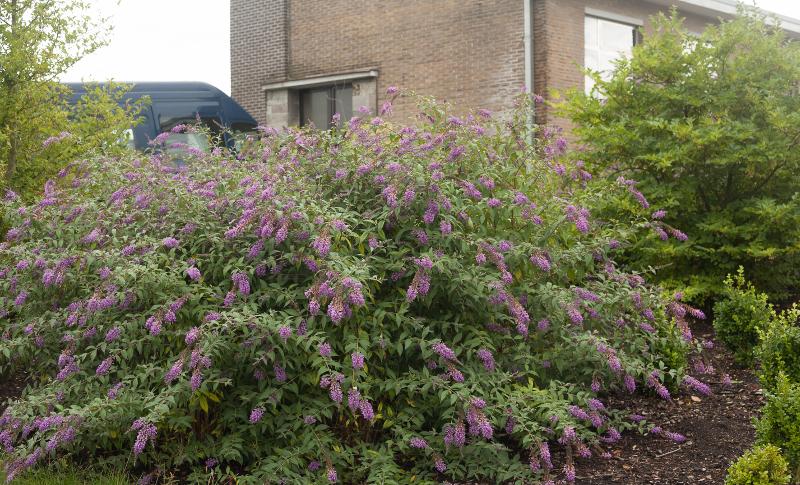 overgrown-butterfly-bush.jpg