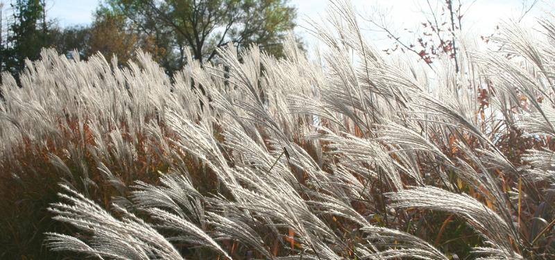 pampas-grass.jpg