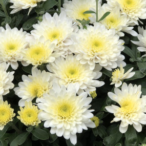 Paradiso White Garden Mum