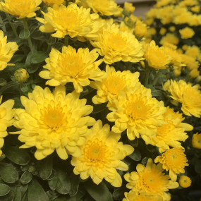 Paradiso Yellow Garden Mum