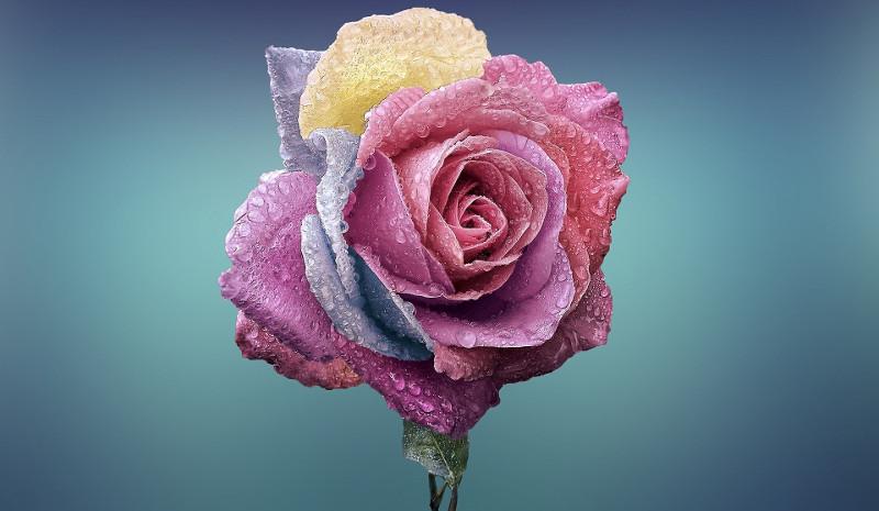 pastel-rainbow-rose.jpg
