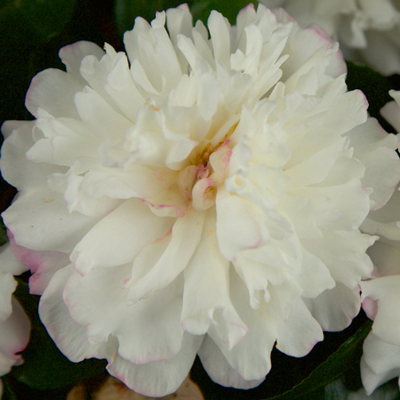 peony-form-camellia-flower.png