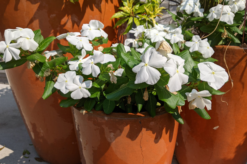 periwinkle-plants-growing-in-planters.jpg