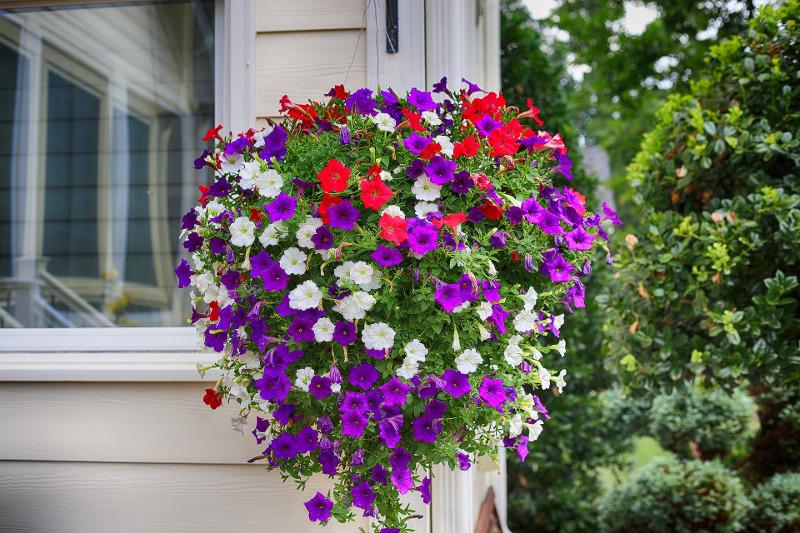 petunias-flowering-in-a-large-hanging-basket.jpg