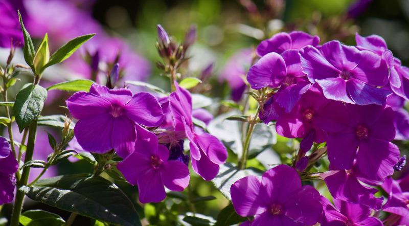phlox-flower-buds.jpg