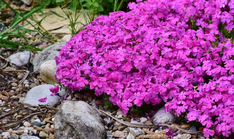 phlox-plant-blooming-in-rock-garden.jpg