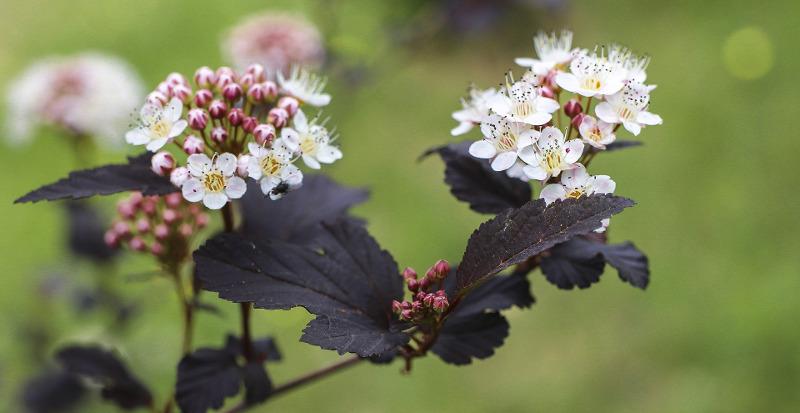 physocarpus-flowers-close-up.jpg