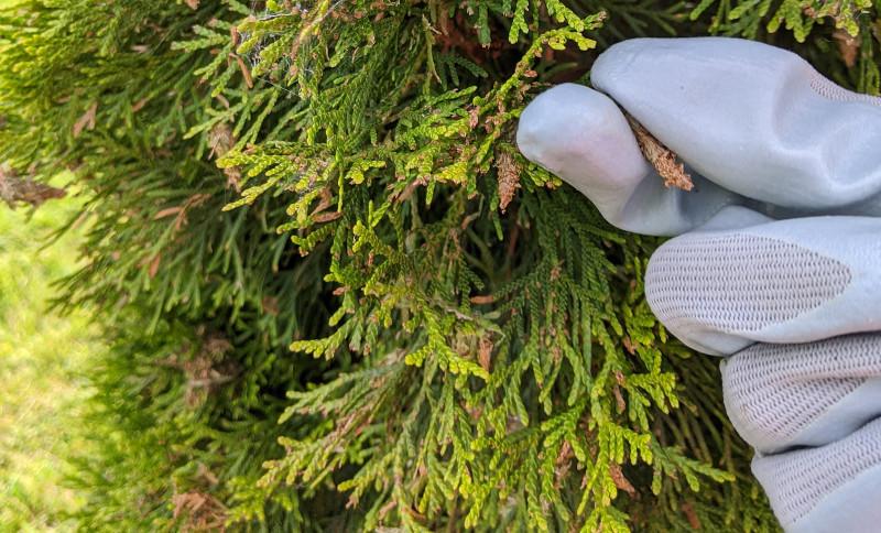 picking-bagworms-off-arborvitae-branch.jpg