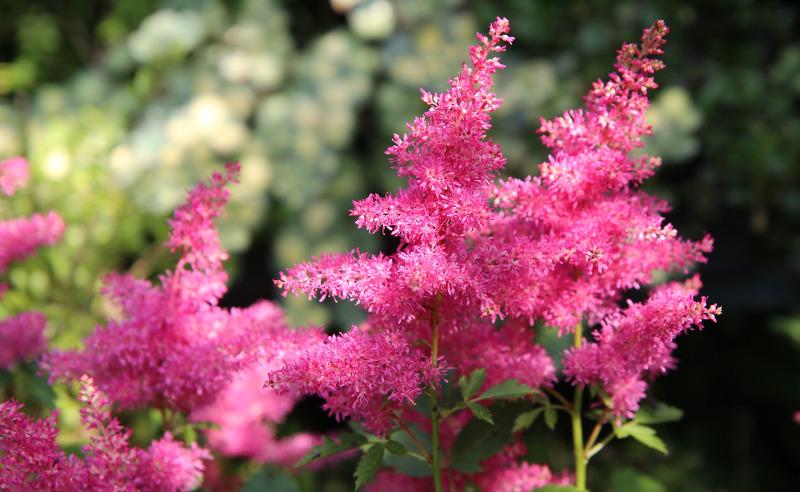 pink-astilbe-flowers-close-up.jpg
