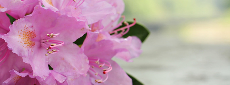 pink-azalea-flowers-close-up.jpg