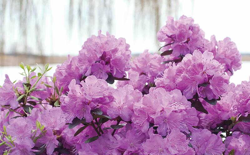 pink-azalea-flowers.jpg