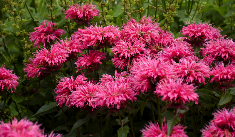 pink-bee-balm-flowers-ready-to-be-pinched.jpg