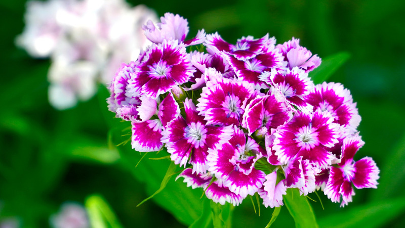 pink-dianthus-flowers-close-up.jpg