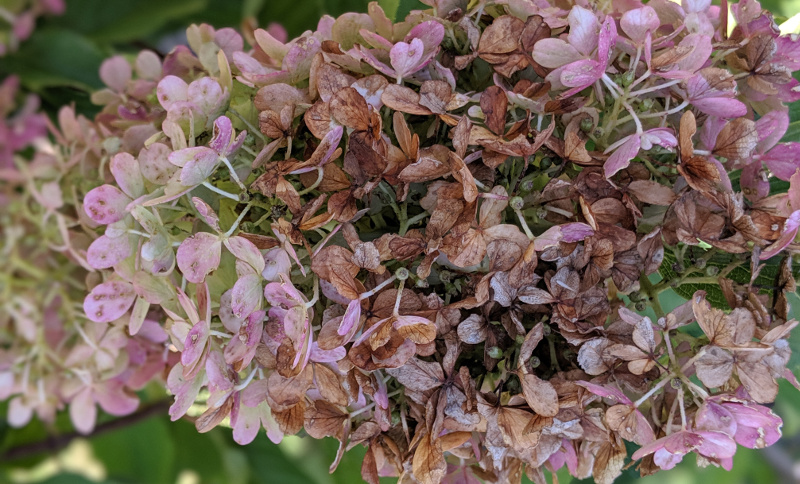 Hydrangea Flowers Fading Plant Addicts
