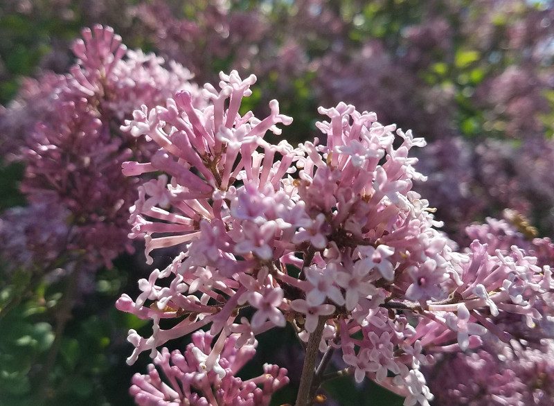 pink-lilac-flowers-in-the-spring.jpg