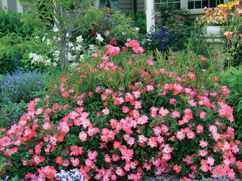 pink-shrub-roses-in-front-yard-garden.jpg