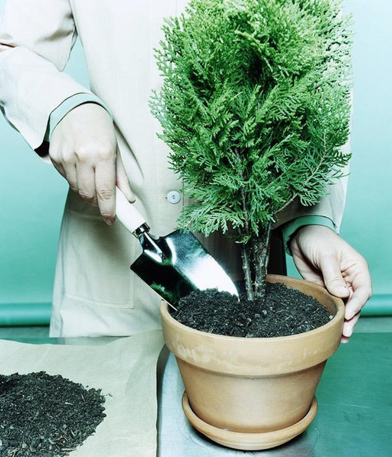 planting-arborvitae-in-a-ceramic-pot.png