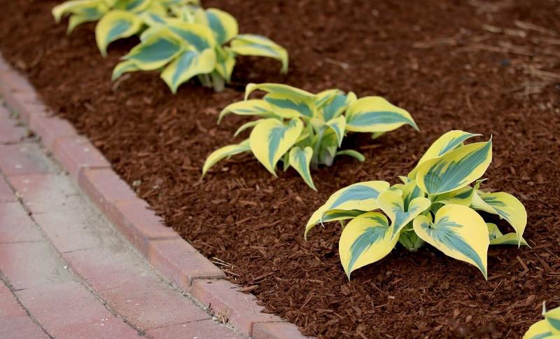 planting-hostas-in-a-row-to-form-a-garden-border.jpg