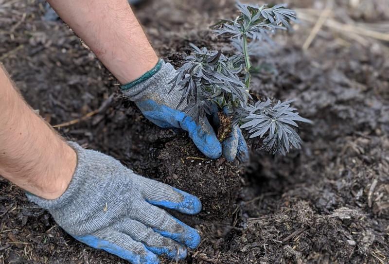 planting-new-elderberry-shrub-into-the-ground.jpg