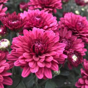 Plumberry Plum Garden Mum