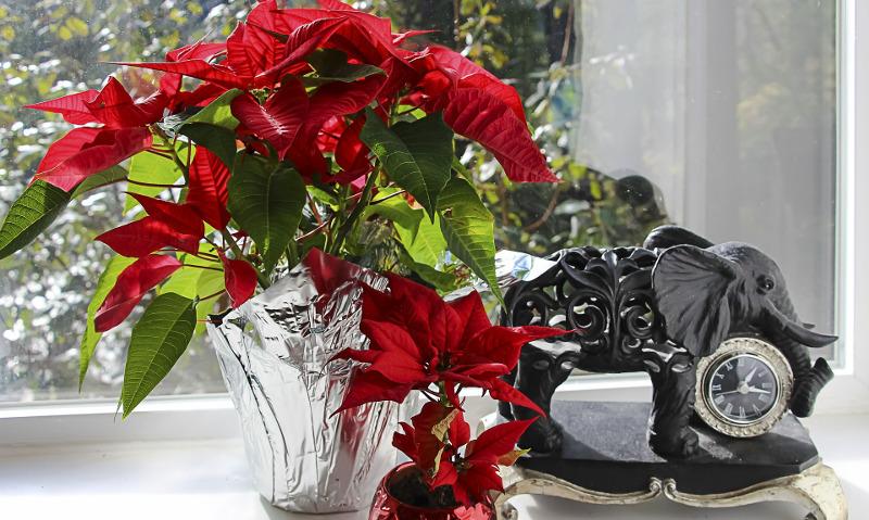 poinsettia-gift-wrapped-in-foil.jpg
