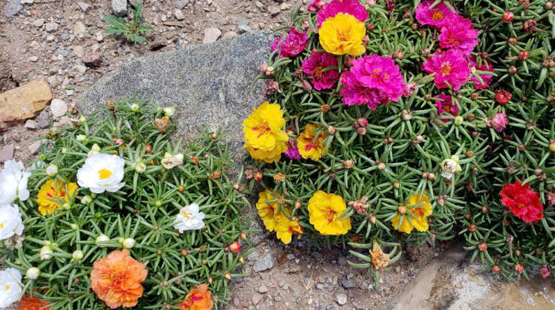 portulaca-mound-flowering-5.jpg