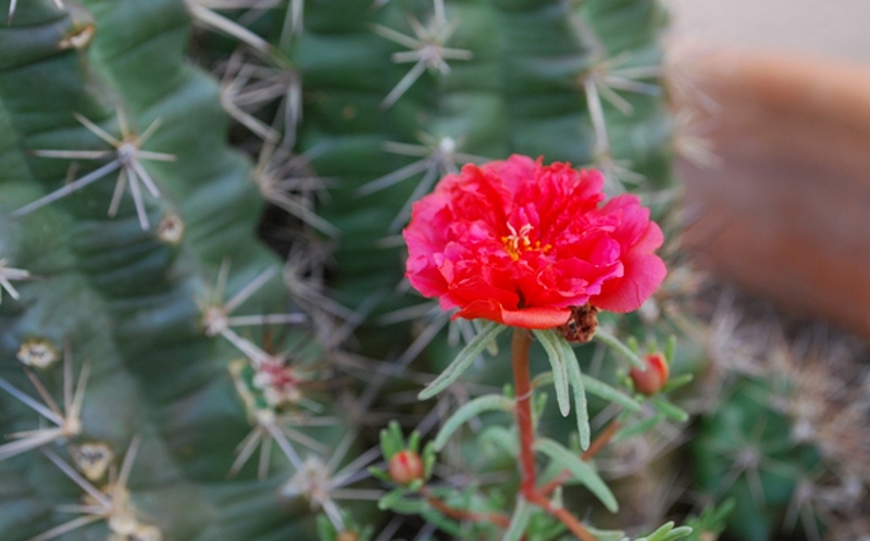portulaca-re-seeded-7.jpg