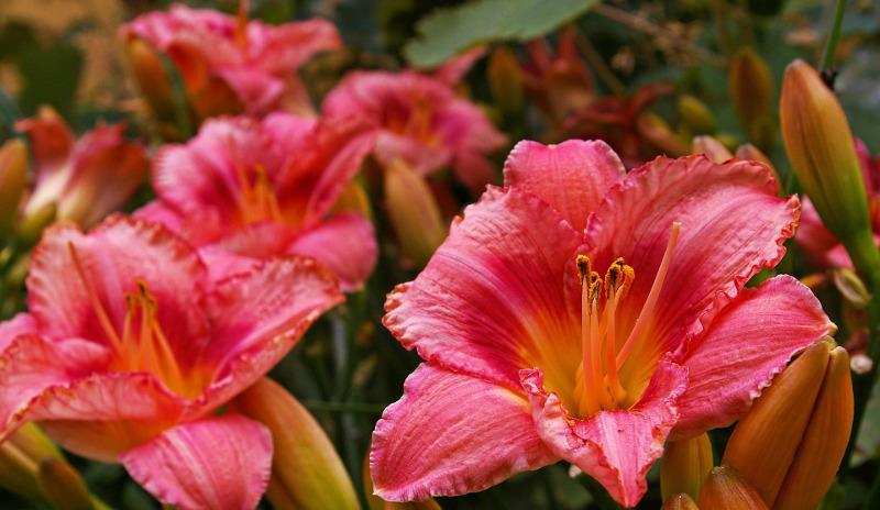 pretty-daylily-blooms.jpg
