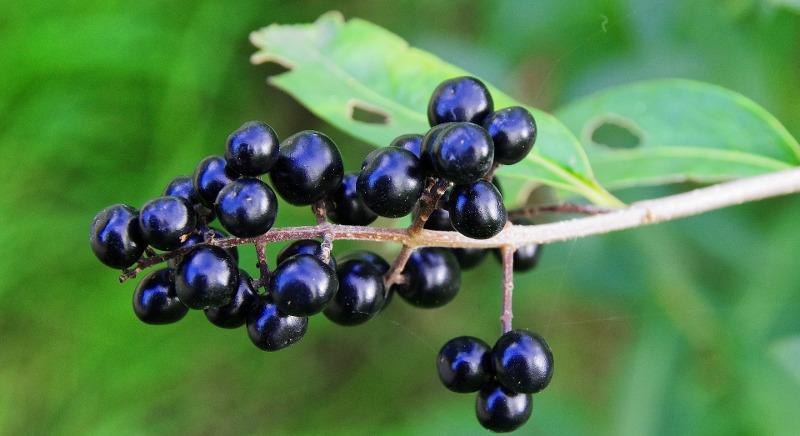 privet-berries.jpg