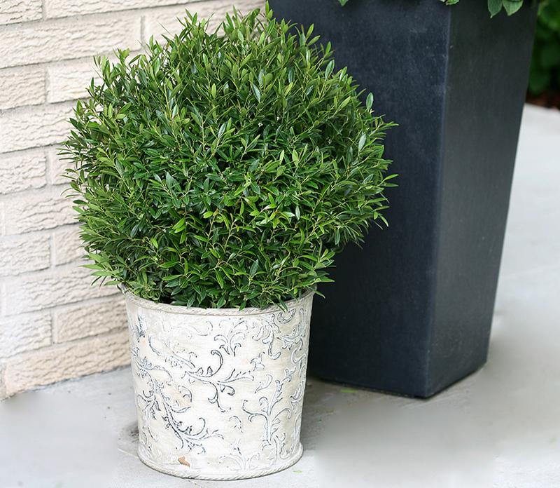 pruned-holly-bush-in-garden-planter.jpg