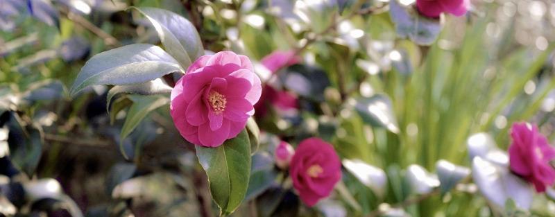 pruning-camellias.jpg