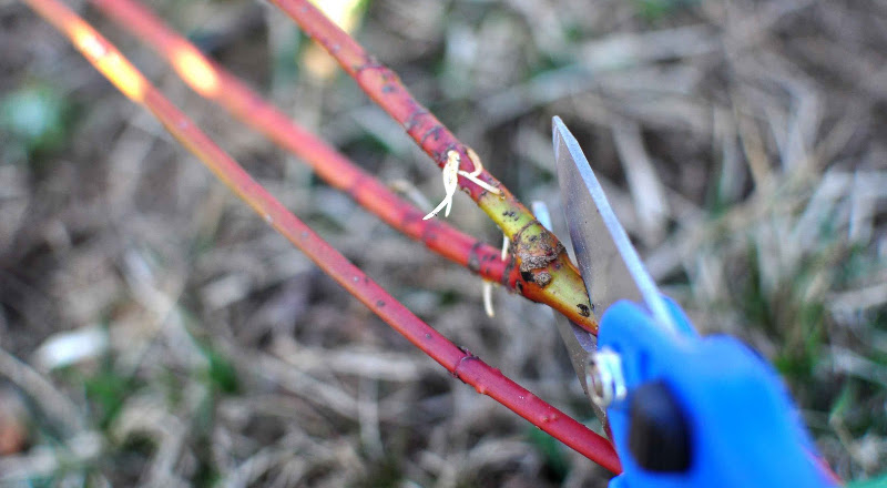 pruning-red-twig-dogwood-branches-for-propagation.jpg