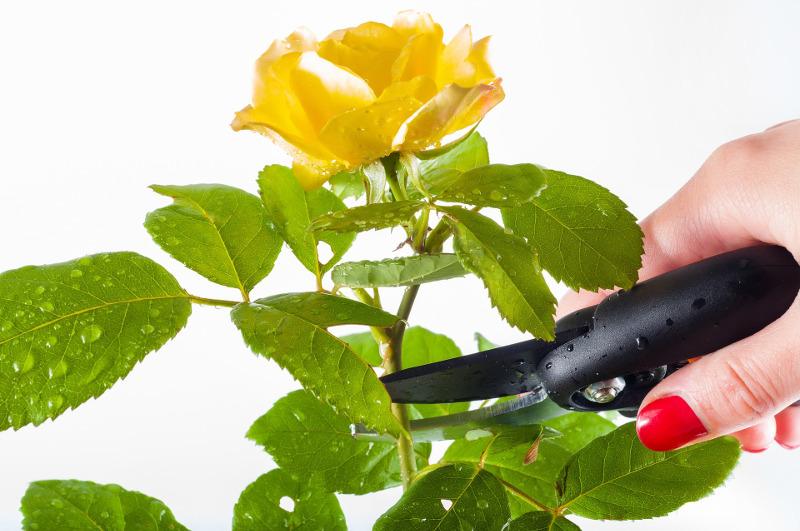 pruning-roses.jpg