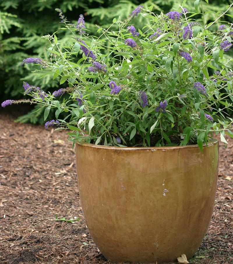 purple-butterfly-bush-growing-in-planter.jpg