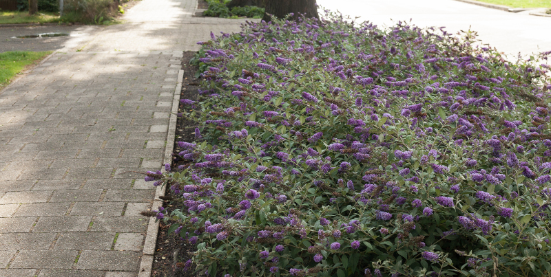 purple-butterfly-bushes-growing-in-hellstrip-next-to-the-street.jpg