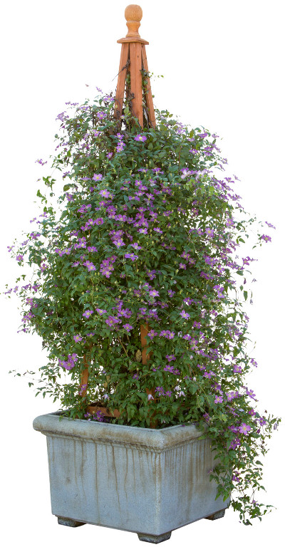 purple-clematis-growing-in-large-planter.jpg