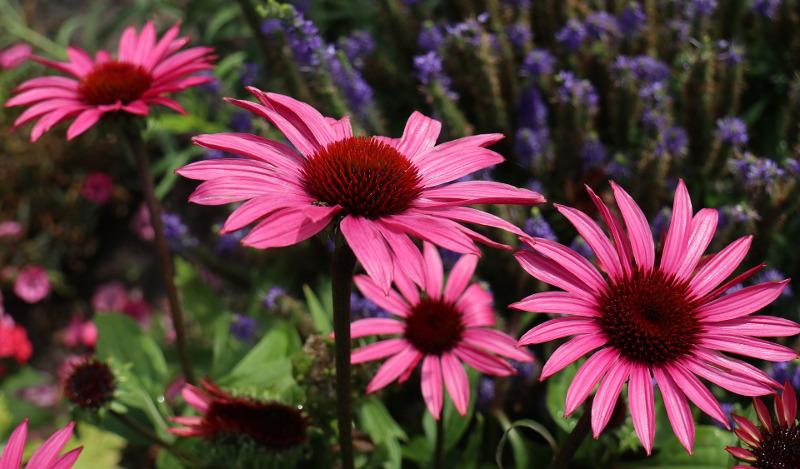 purple-coneflowers-blooming-in-the-summer1.jpg