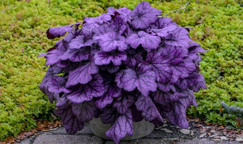 purple-coral-bells-growing-in-container.jpg