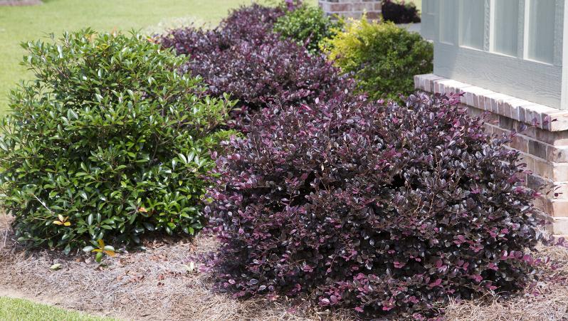 purple-diamond-loropetalum-shrub-36553.1499388207.jpg