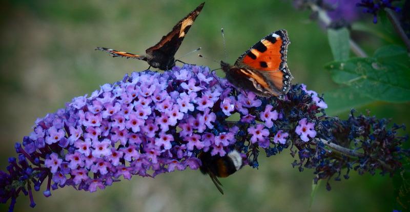 purple-flowering-butterfly-bush-with-monarchs.jpg