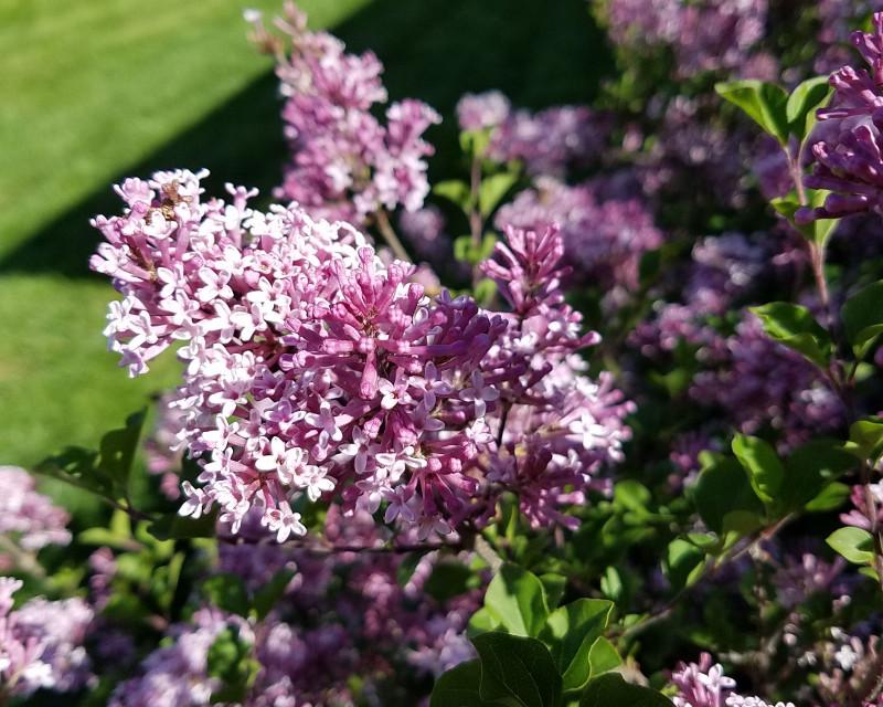 purple-lilac-flowers-in-the-sunlight.jpg