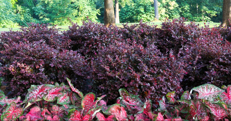 purple-loropetalum-evergreen-hedge.png