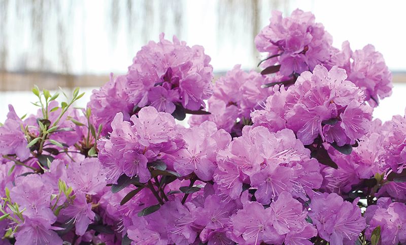 purple-rhododendron-covered-in-flowers.jpg