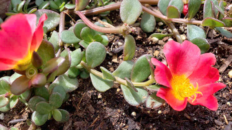 purslane-portulaca-foliage-and-flowers-8.jpg