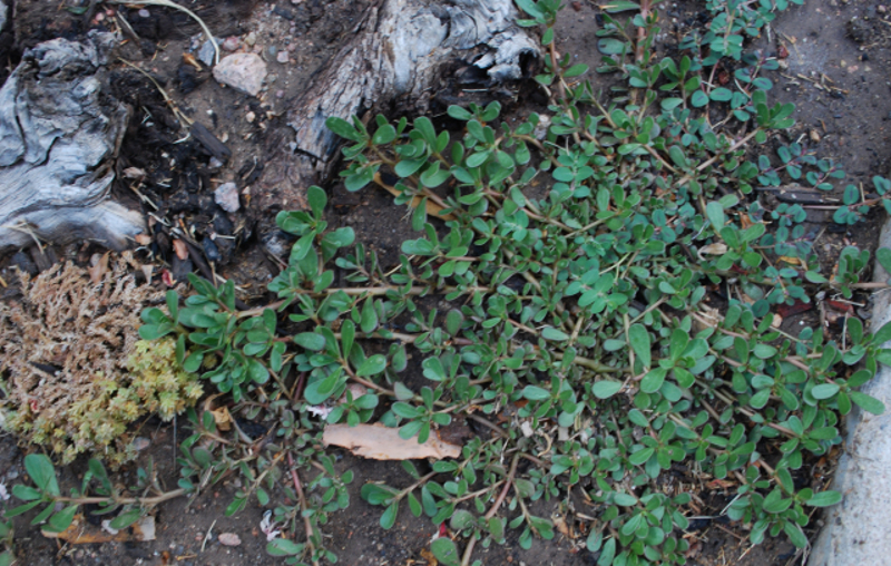 purslane-taking-over-a-rock-garden-3.jpg
