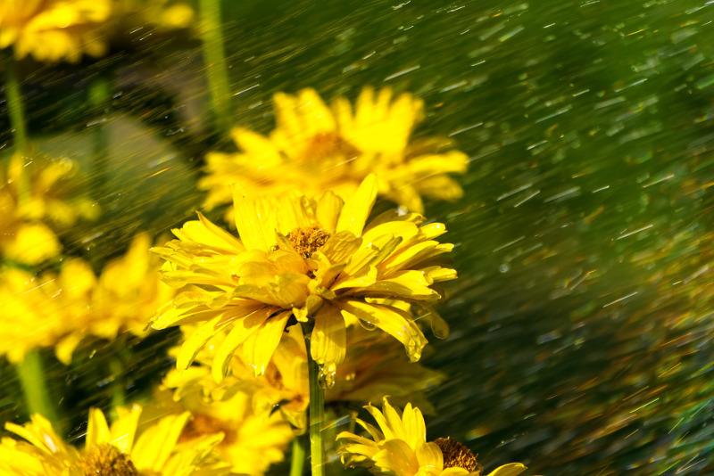 raining-on-coneflowers.jpg