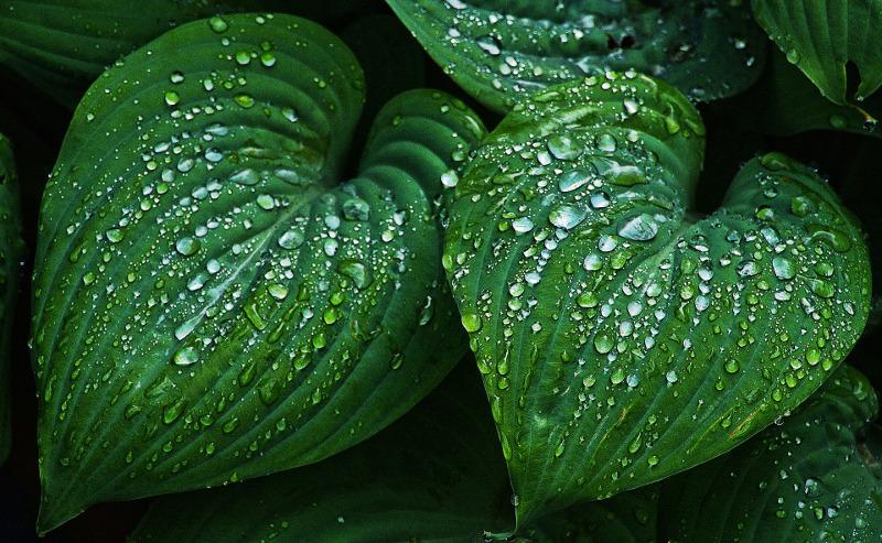 rainwater-on-hosta-leaves.jpg