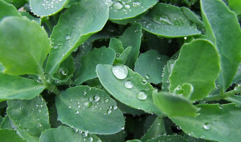 rainwater-on-sedum-plants.jpg
