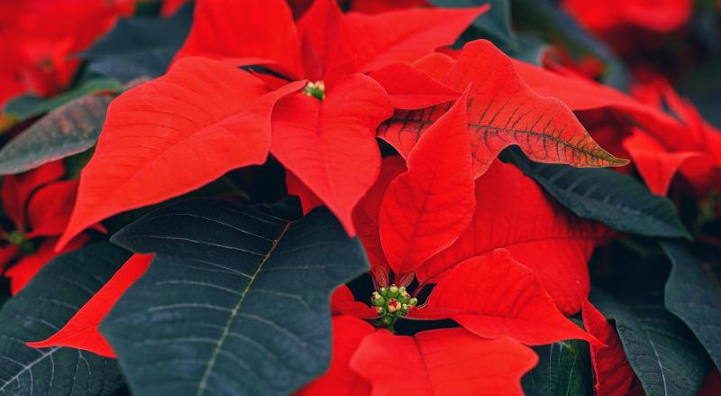 red-poinsettia-plant.jpg